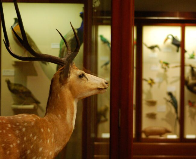 Image of a taxidermied deer in profile in a museum.