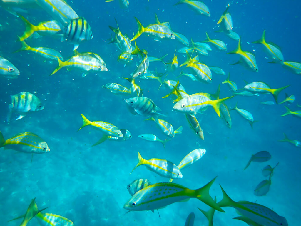 Several yellow and striped fish swim around in shallow blue water.