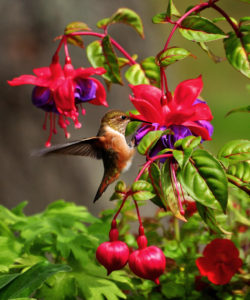 Photo of hummingbird feeding from pink and purple flowers.